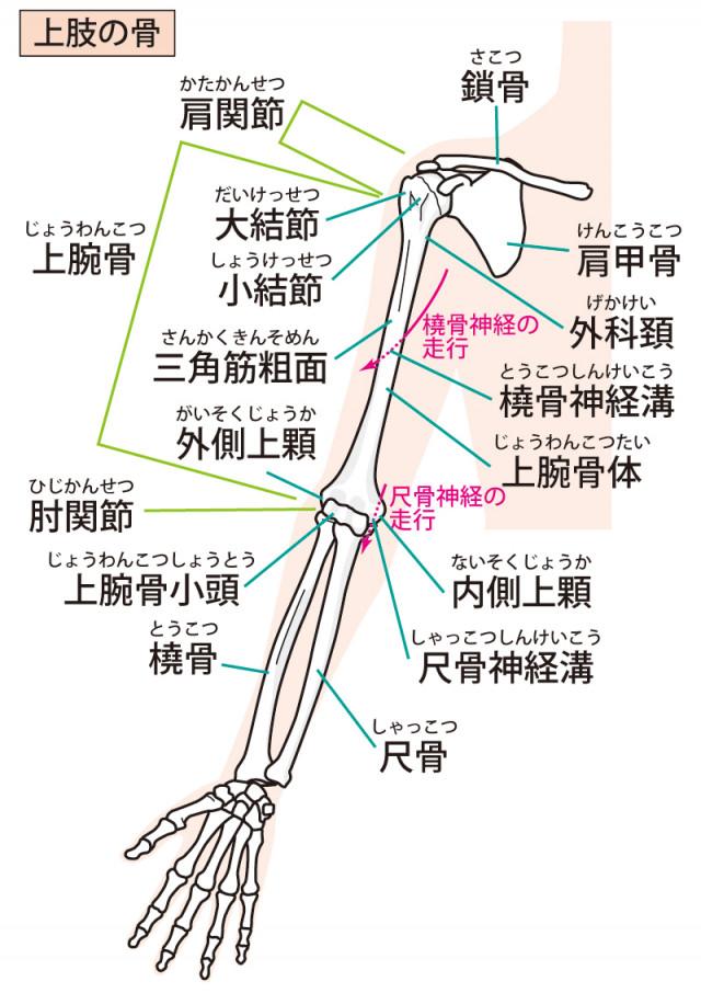 上肢の構造