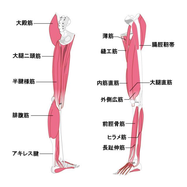 下肢の筋肉